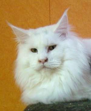 Продам котенка Мэйн Кун в Люберцы фото 3