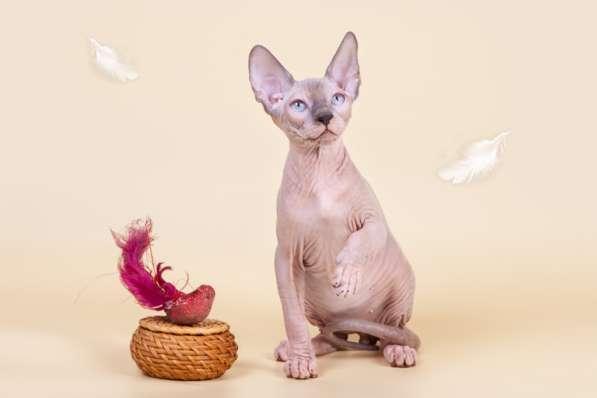 Котёнок Эльф, бамбино, Двэльф или с взглядом, полным солнца в Уфе