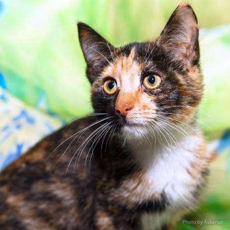 Необычная котенок девочка Камилла подарит счастье. В дар.