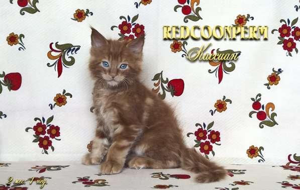 Котёнок менй кун красный солид. Шоу класс в Перми фото 5