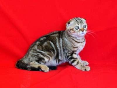 Шотландские вислоухие котята ArtsFamily