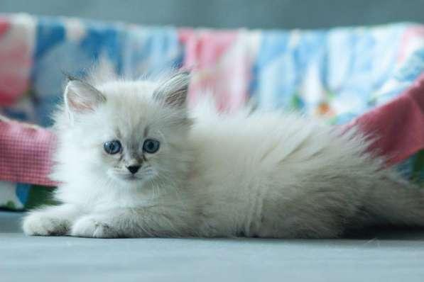 Невские маскарадные котята (2 мес)