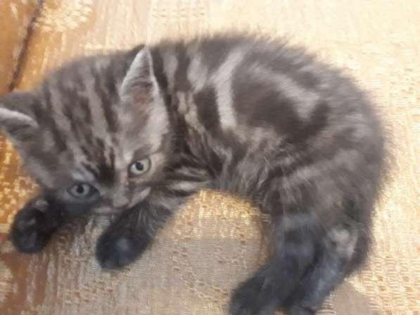 Британские чистокровные котята в Новокузнецке