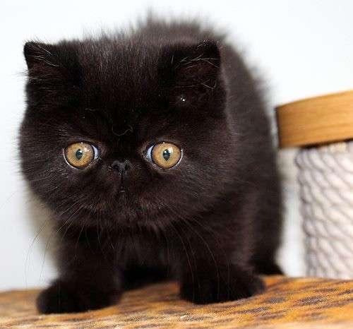 Экзоты котики