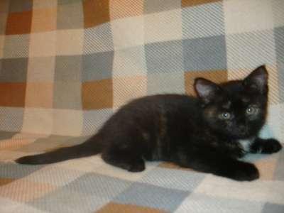 Котята дети любви от Бурманской кошки и