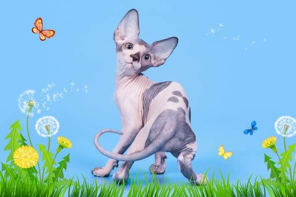 Бархатный котёнок с душой Эльф, Двэльф, бамбино или сфинкс в