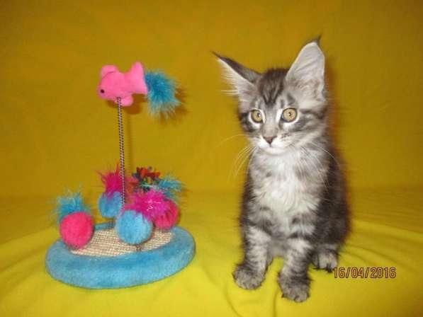 Продажа котят Мейн-кунов