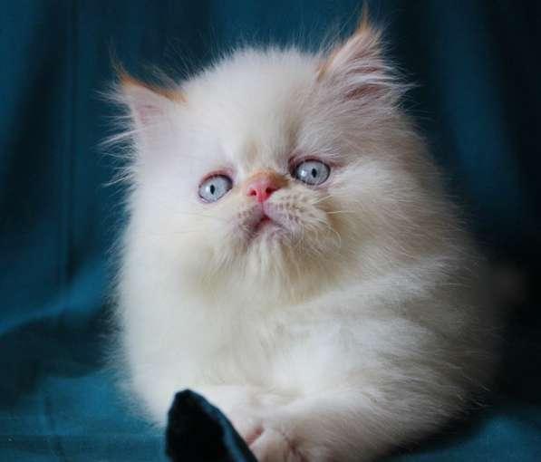 Чистокровный персидский котик колор поинт
