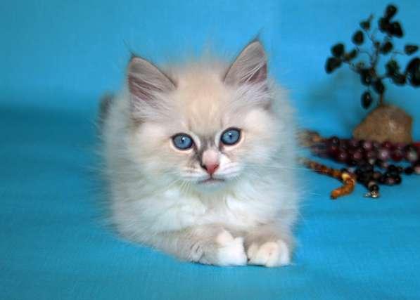 Продаются котята породы невские маскарадные