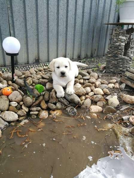 Великолепные щенки лабрадора в Ростове-на-Дону фото 6