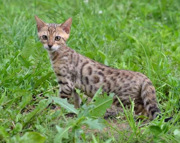 Бенгальсике котята в Нижнем Новгороде фото 3