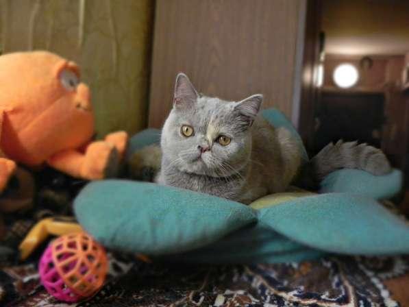 Прикольные шотландцы - Чистокровные шотландские котята в Москве фото 5