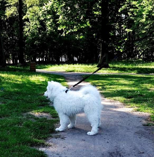 Щенки самоедской собаки в Калининграде фото 3