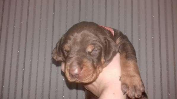 Продажа щенков добермана в Симферополе фото 3