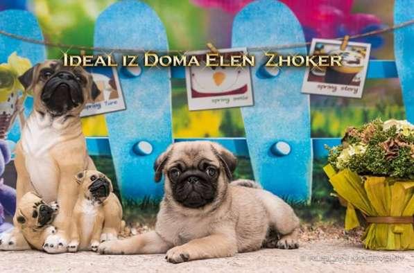 Продаются щенки мопса