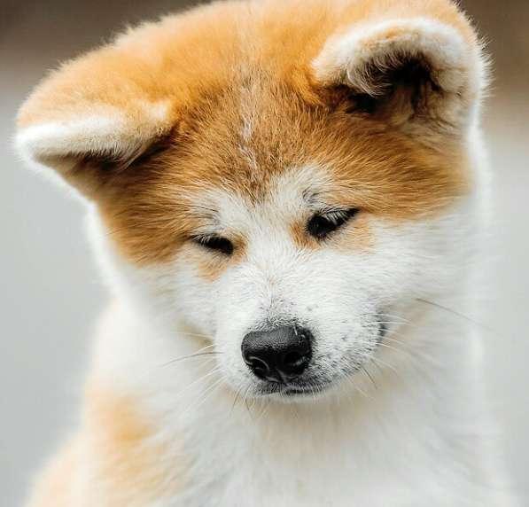 Акита ину щенок