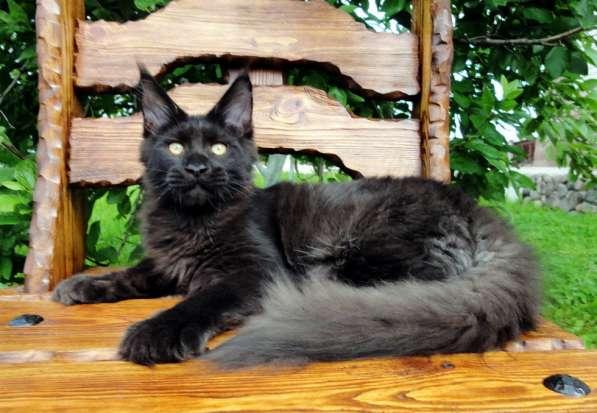 Котята мейн-кун из питомника