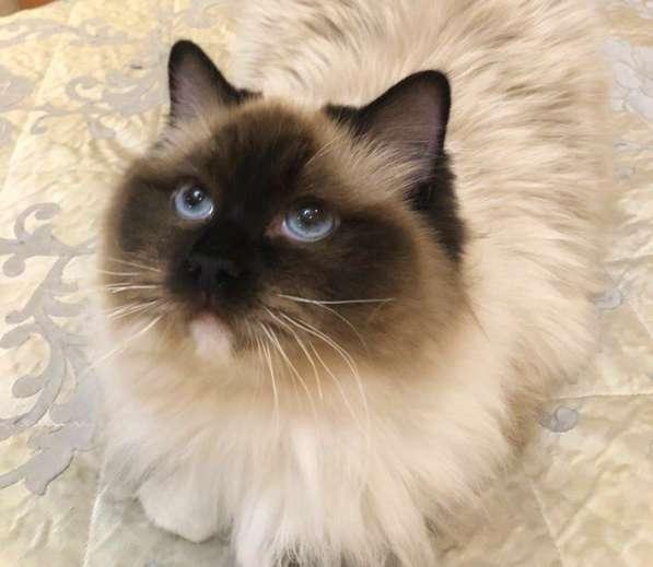 Котята породы Рэгдолл в Кургане фото 8