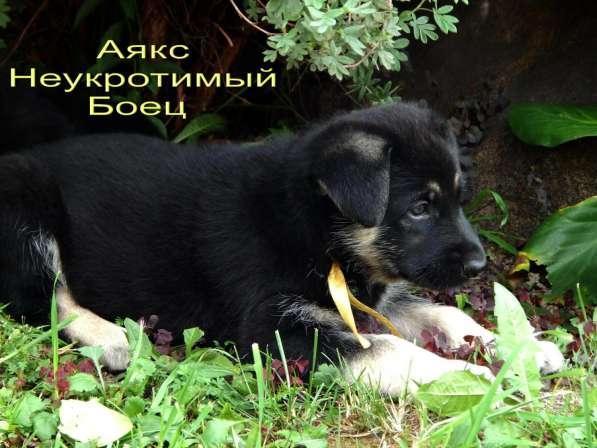 Щенки Восточноевропейской Овчарки. Родословная РКФ в Новокузнецке фото 5