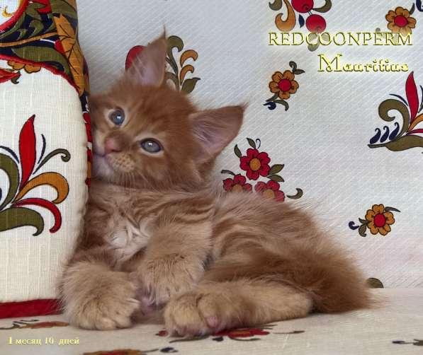 Котята мейн кун красные в Москве фото 12