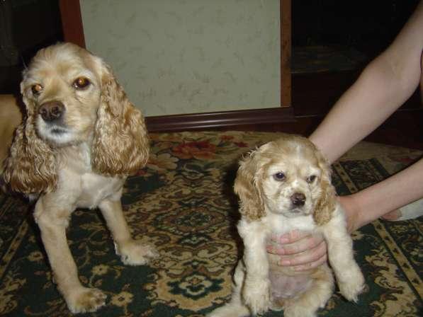 Продам чистокровных щенков американского кокер спаниеля
