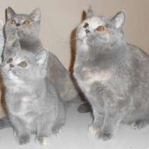Британская кошка - голубо-кремовая черепаха, в Москве