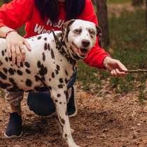 Молодая собака породы далматин ищет дом, в г.Санкт-Петербург