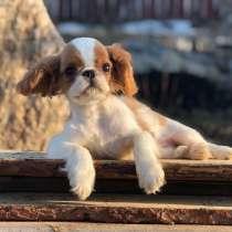 Продаем щенков Кинг Чарльз Спаниель, в Екатеринбурге