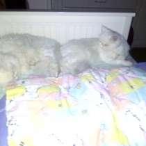 Отдам в добрые руки кошку персидскую белую со всеми документ, в Москве