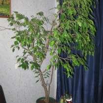 Продам домашнее деревце Фикус Бенджамина, в Санкт-Петербурге