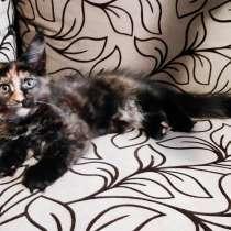 Котенок породы мейн-кун, в Борисоглебске
