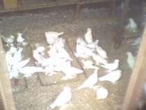 Продам голубей разных пород, в г.Крымск