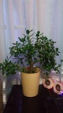 Толстянка, денежное дерево, крассула, в г.Караганда
