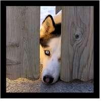Собака Хаски, в г.Шымкент