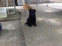 Продажа щенка, в Краснодаре