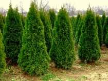 Саженцы декоративных деревьев и кустарников, в г.Брест
