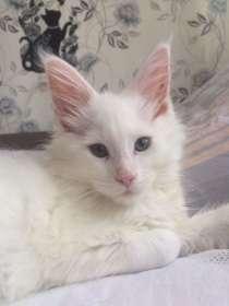 Котёнок мейн кун, в г.Королёв