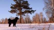 Монгольская овчарка Банхар, в Красноярске