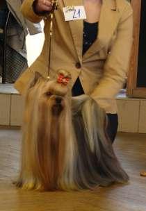 Щенки йорка из питомника Мари Бижу, в Екатеринбурге