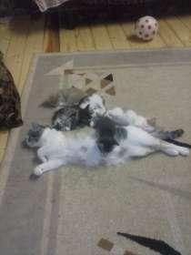 Отдам даром котят от домашней кошки, в г.Минск