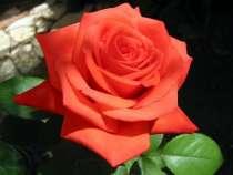 Роза эфирное масло розы розовое масло в Киеве, в г.Киев