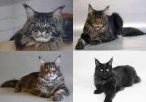 Крупные котята Мейн кун, в Волгограде