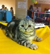 Кошечка с ярким контрастным мраморным окрасом, в Казани