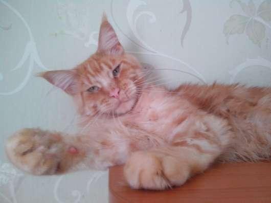 Продаются котята мейн кун в Тюмени Фото 2