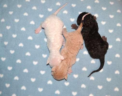 Роскошные котятки Корниш рекса на резервирование