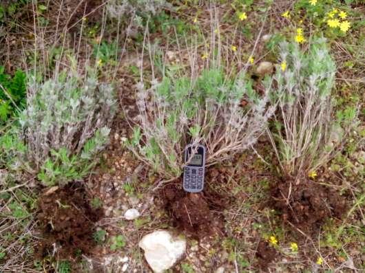 Саженцы лаванды в г. Симферополь Фото 4