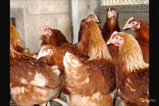 Куры несушки породы Хайсекс Браун с доставкой 120 дневные