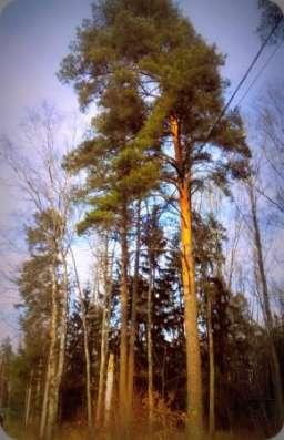 Большие, хвойные деревья. 14 соток. Газ центральный. 1 км от города Звенигород. в Москве Фото 5