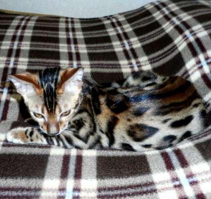 Очень красивые бенгальские котята