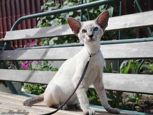 Сиамские котята, современного типа в Казани Фото 2